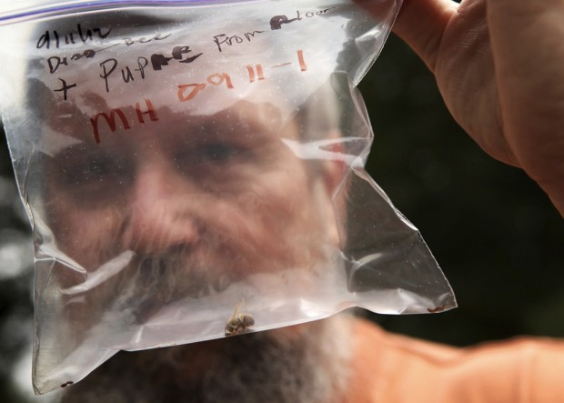 'Zombie bees' infected by pupae of parasitic flies