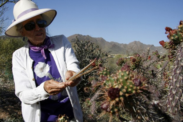 It's harvest time for cholla buds, a subtle, versatile native food
