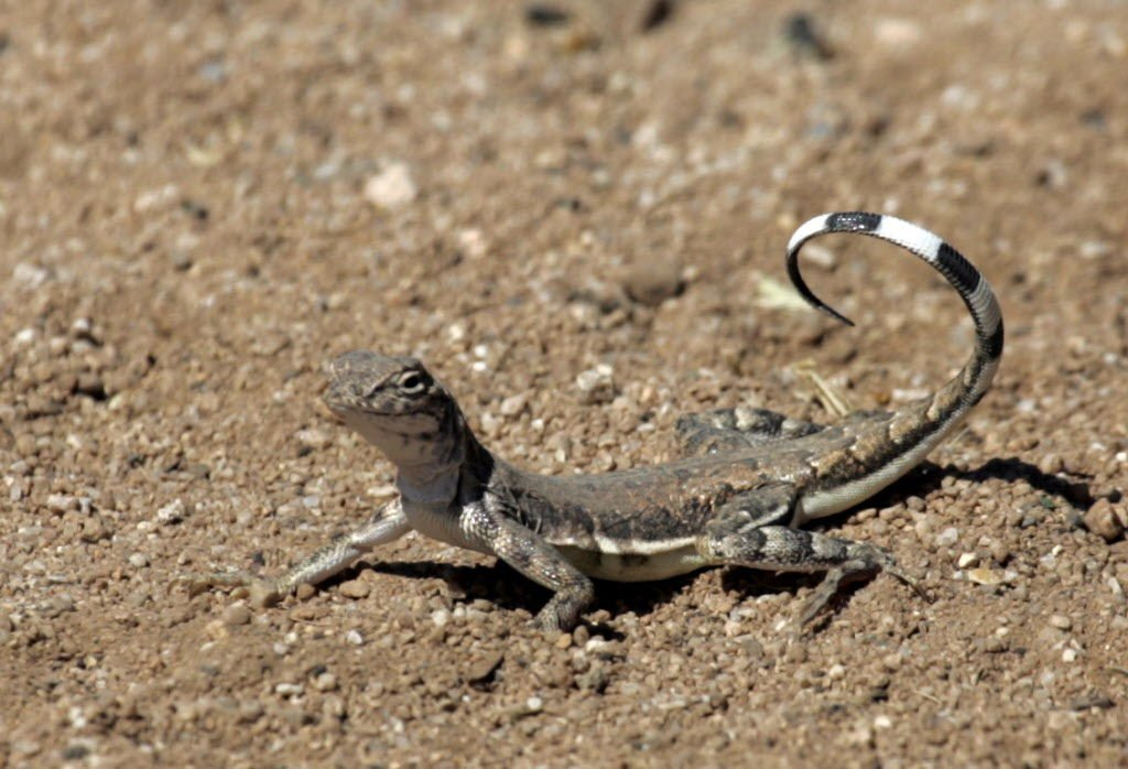 Surprisingly Beautiful Southern Arizona Lizards
