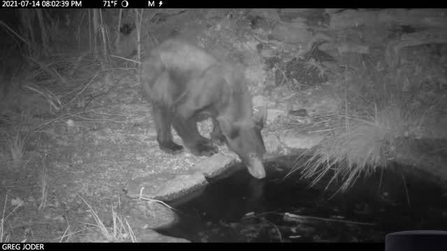 Watch now: Bear has a rub-a-dub in watering hole near Tucson