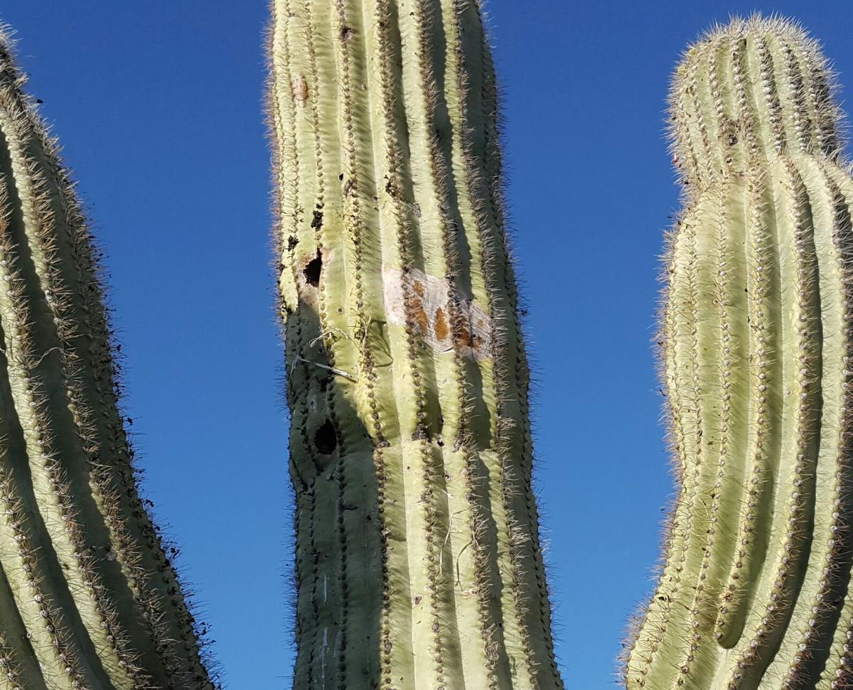 Garden Sage: 'George' the saguaro
