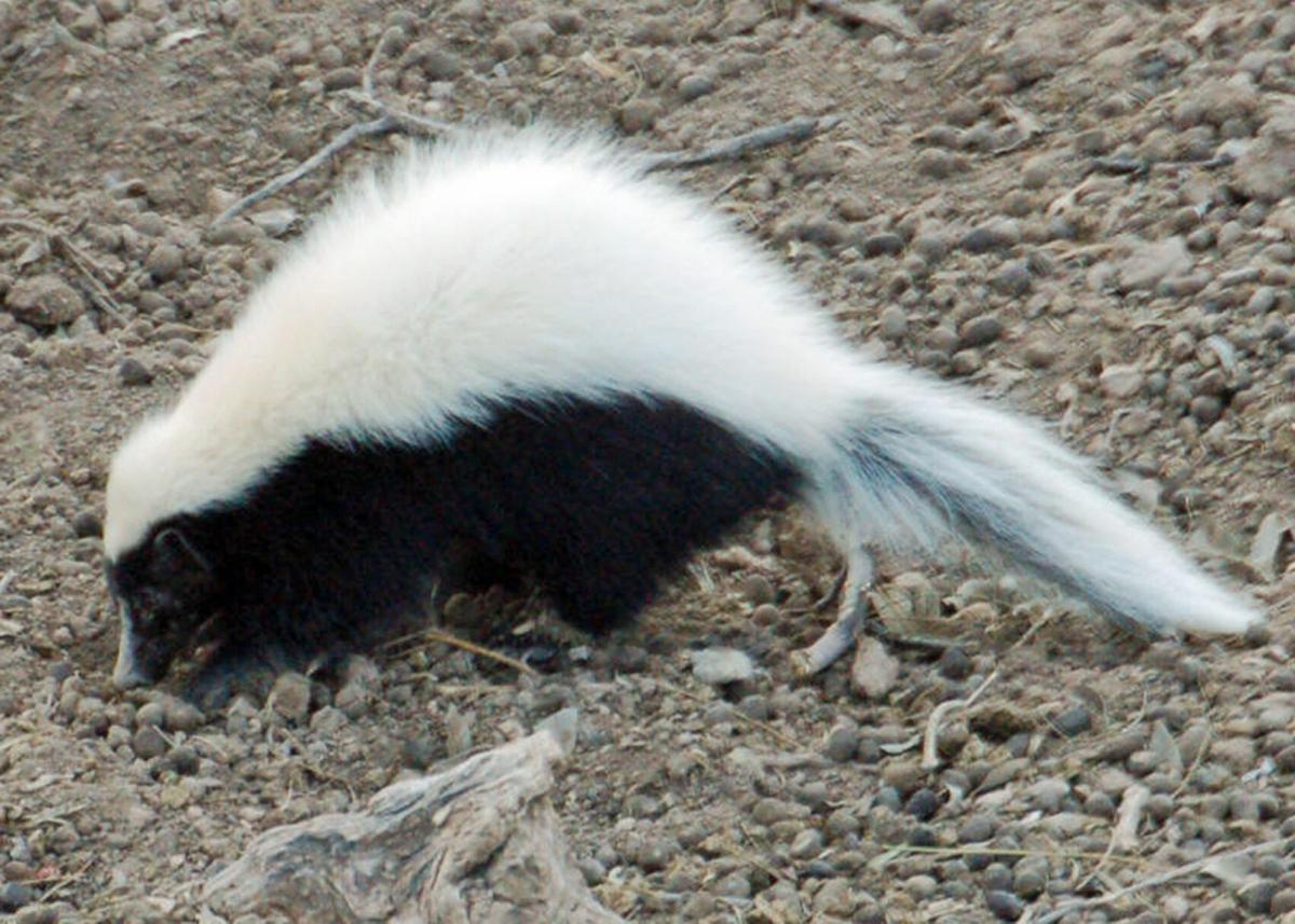 hog-nosed_skunk.jpg