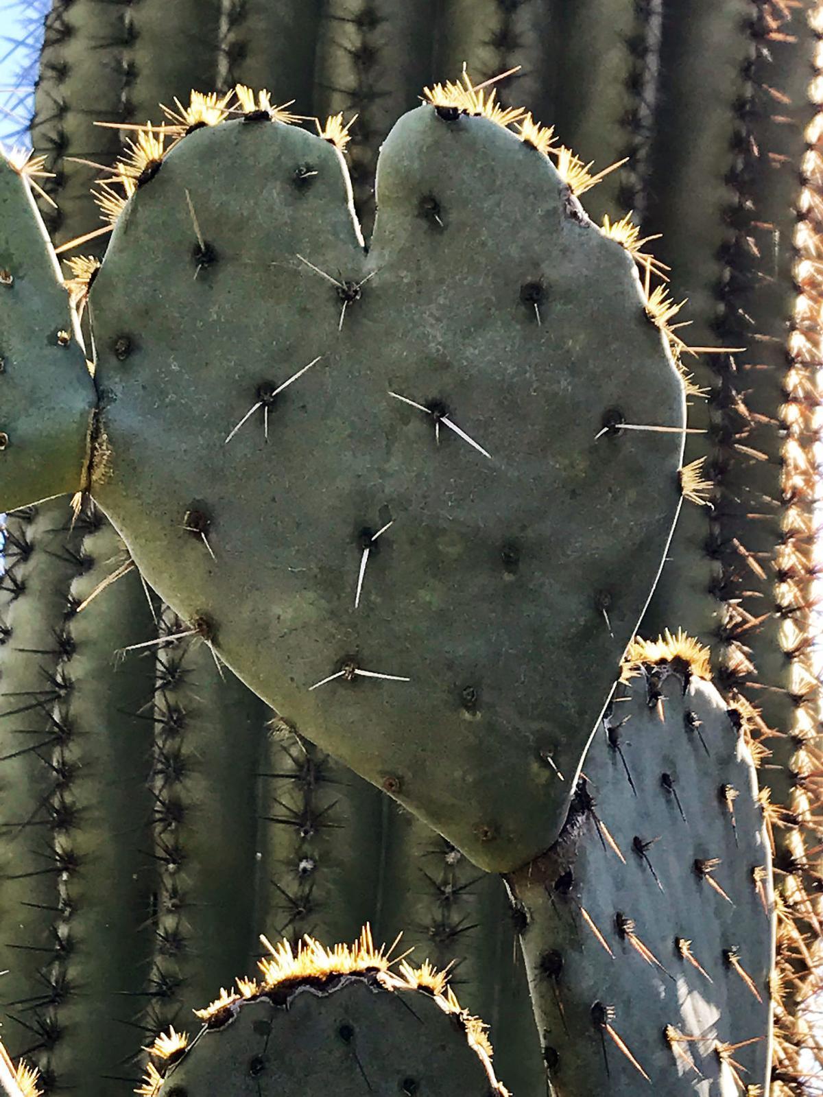 Cactus love at Sabino Canyon