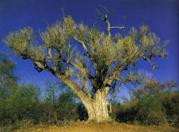 Landmark Southern Arizona cottonwood tree topples