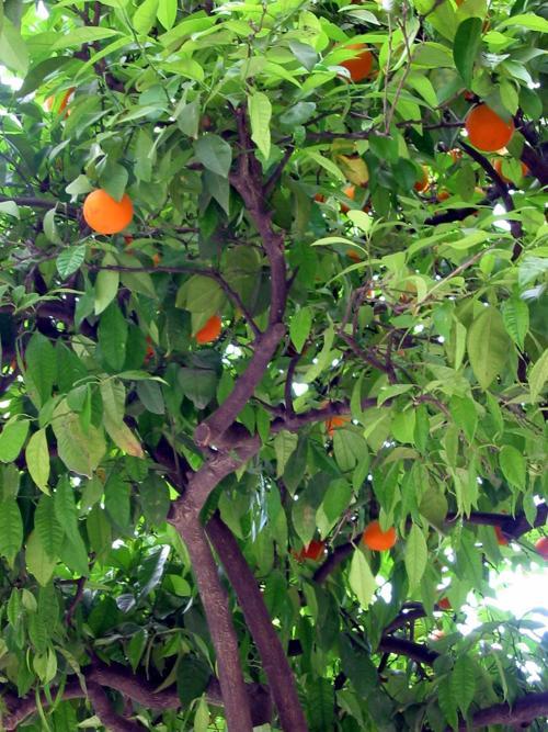 How To Fertilize A Citrus Tree Tucson Com
