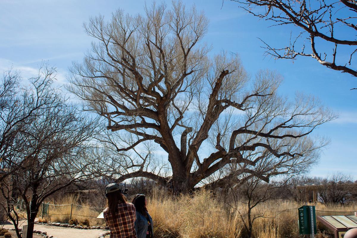 Sierra Vista Cottonwood Tree