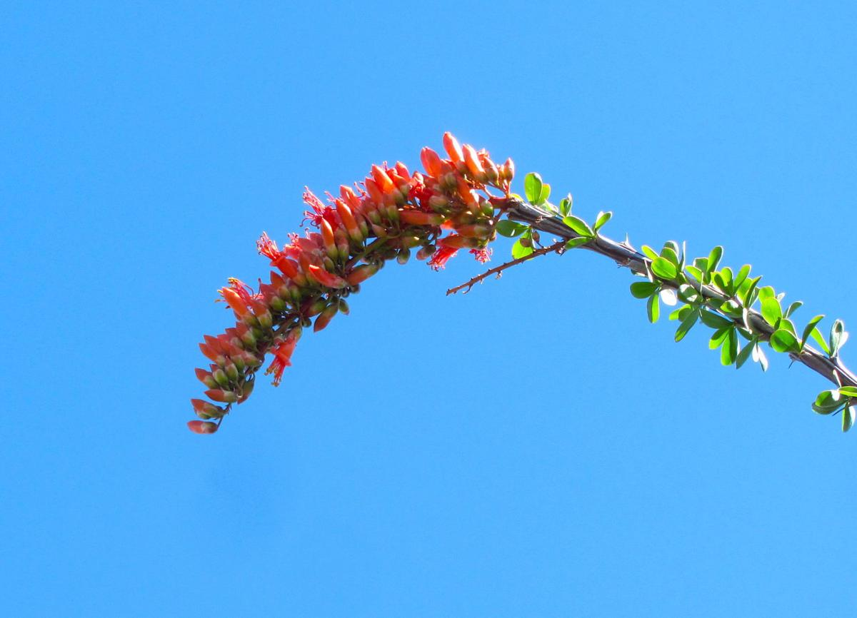 Ocotillo stem with blooms