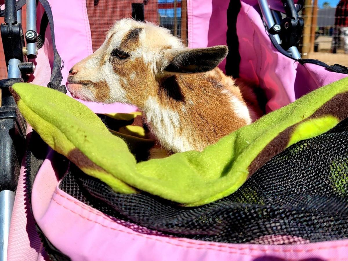Goat-a-grams