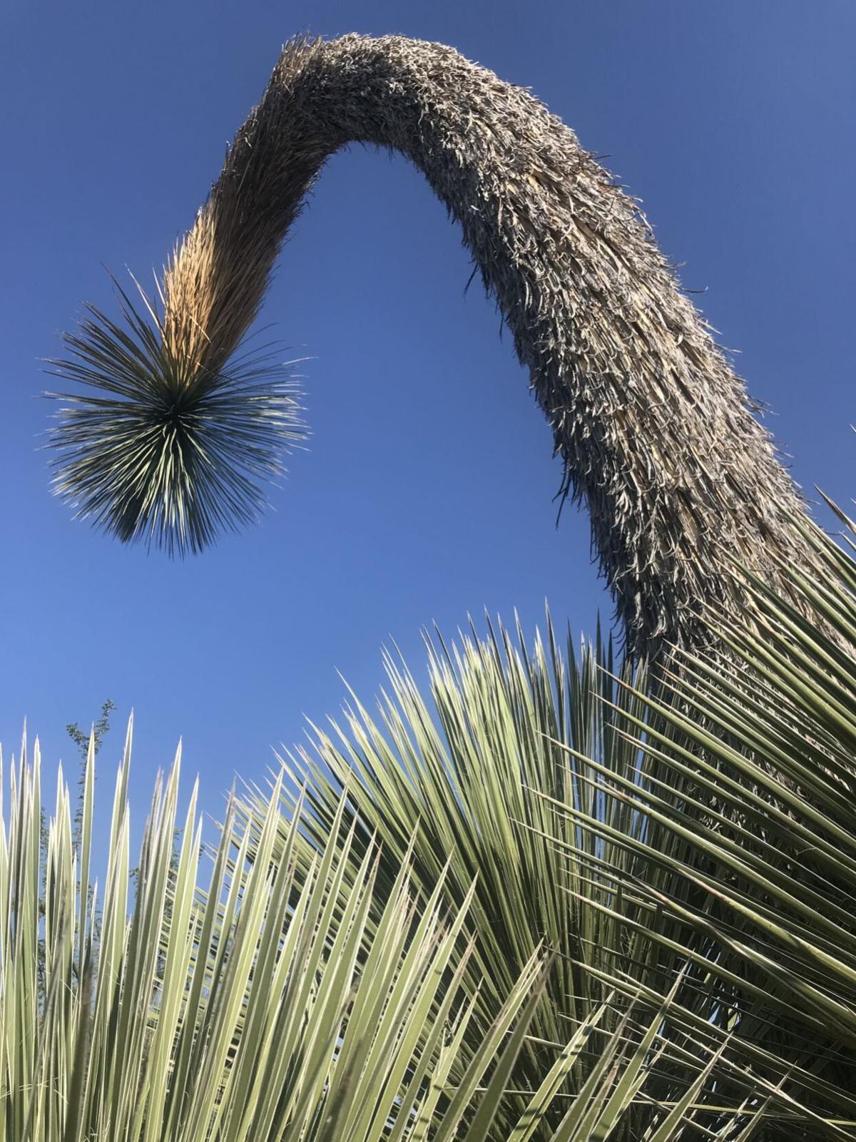 Soaptree yucca plant