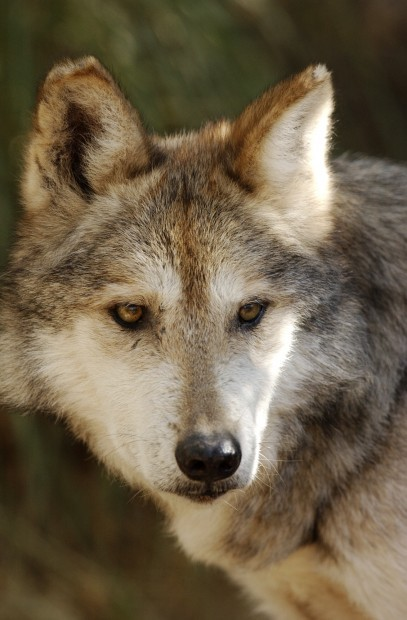 Mexico to place 5 wolves near AZ
