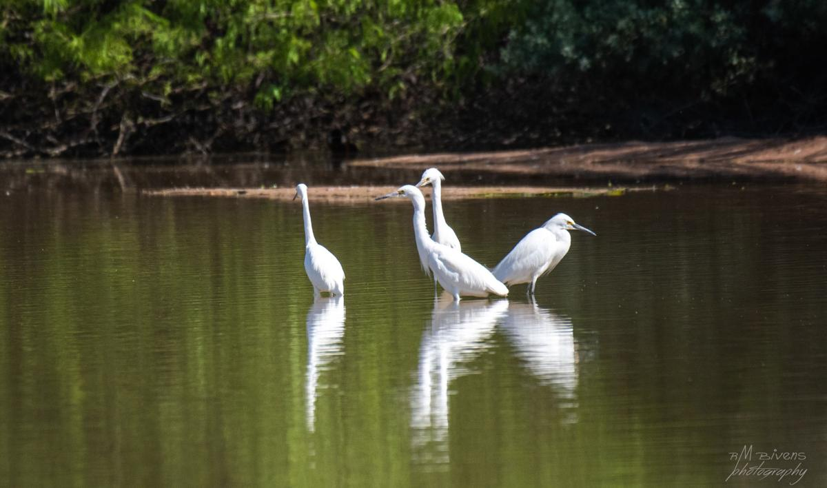 Egrets-and-reflections.jpg