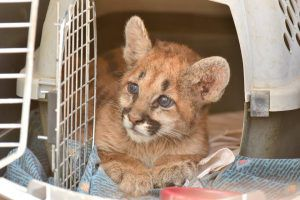 AGFD rescue mountain lion cub