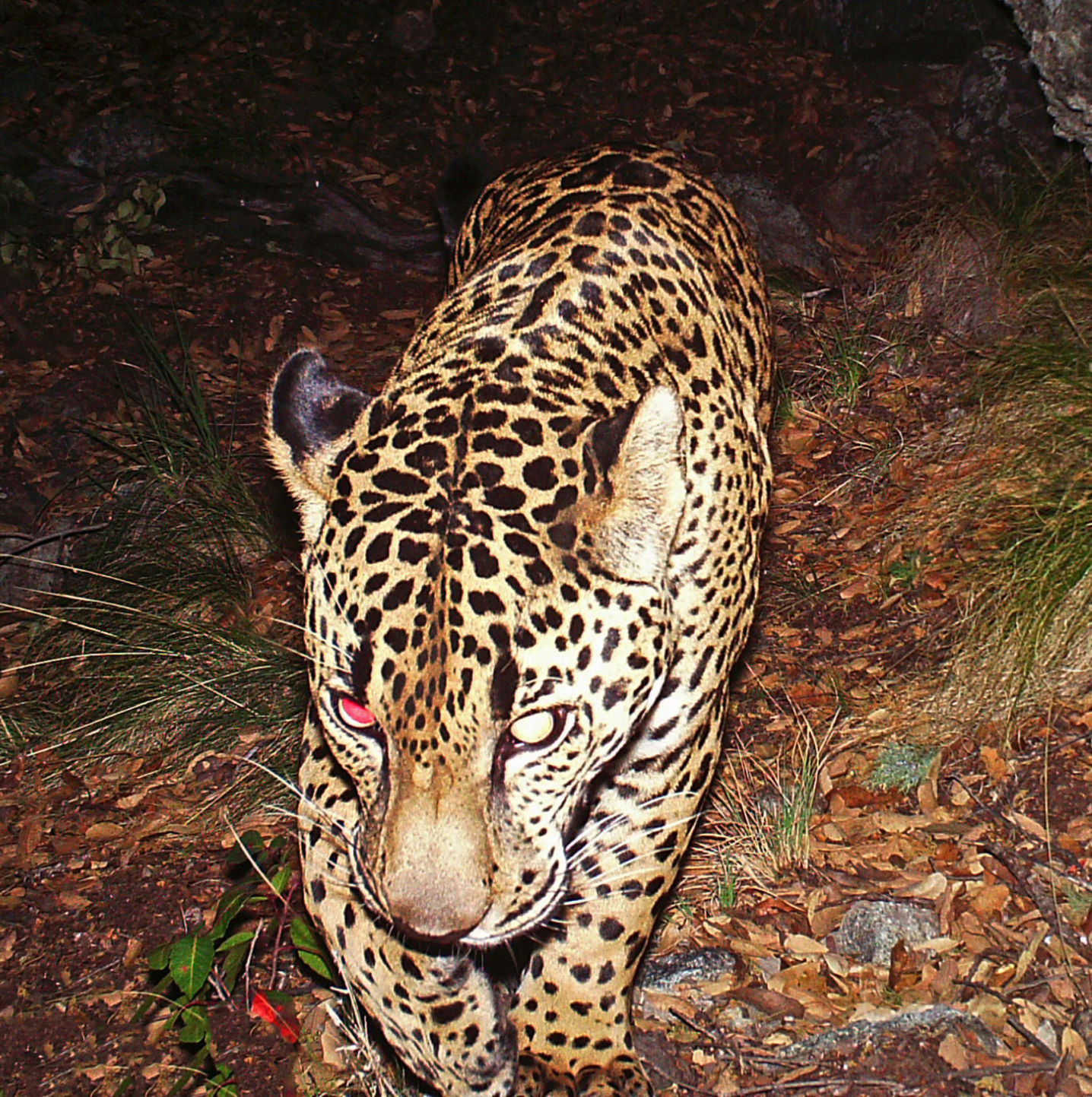 The Jaguar El Jefe Is Believed To Have Made A Home In The Santa Rita  Mountains Southeast Of Tucson.