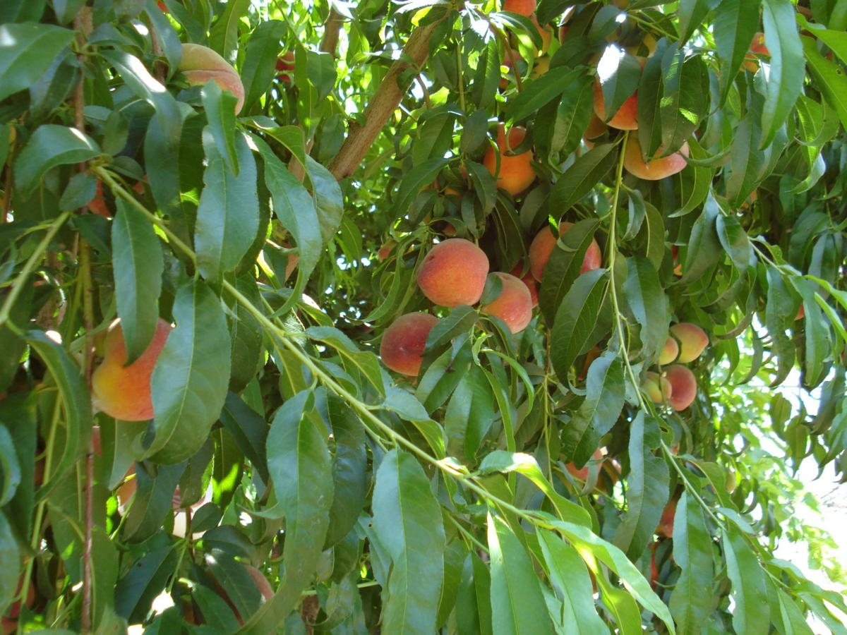 If you choose the right variety, peach trees can do well in Tucson.