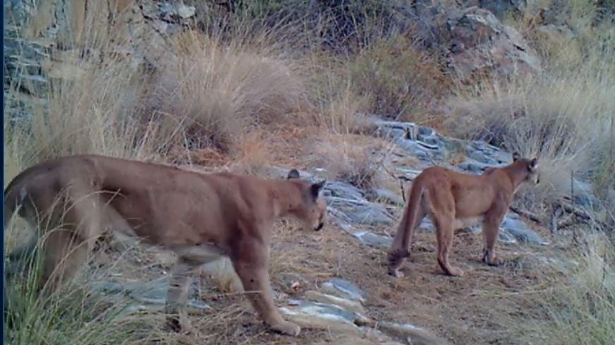 Pumas in Arizona mountains