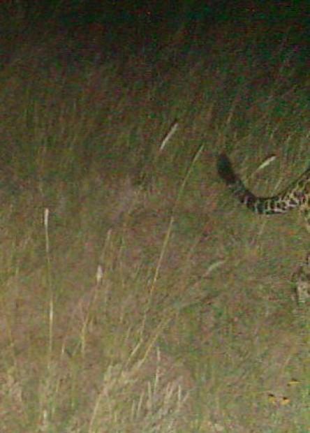 Scientists: Camera captured jaguar SE of Tucson