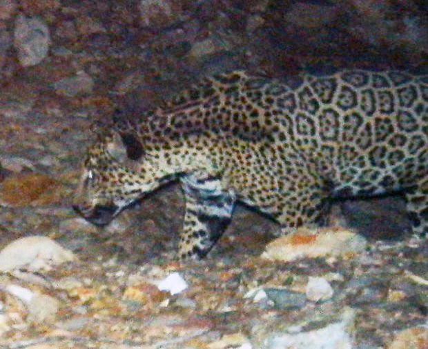 US: Mine no overall threat to jaguars
