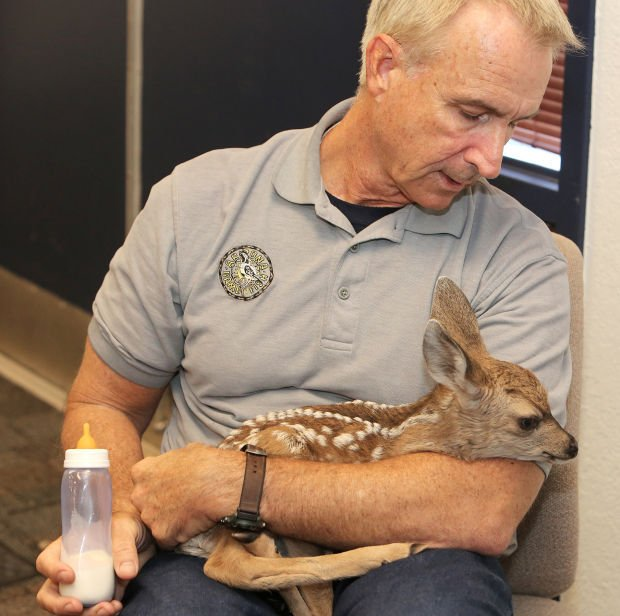 Abandoned fawn leaving Tucson for Prescott zoo