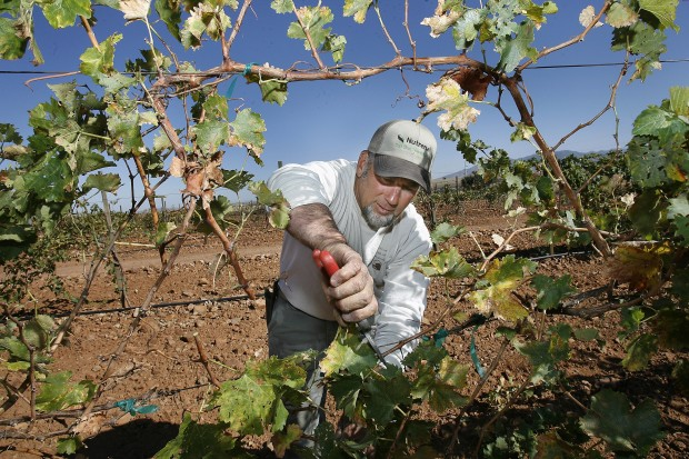 Grape growers make do with what they have