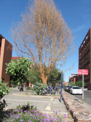 More Watering Or More Pruning For Acacia Tucsoncom