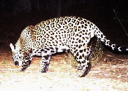 Jaguar in the Huachuca Mountains