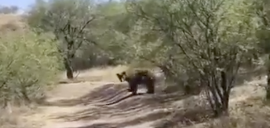 Watch: A bear is roaming Rio Rico this week