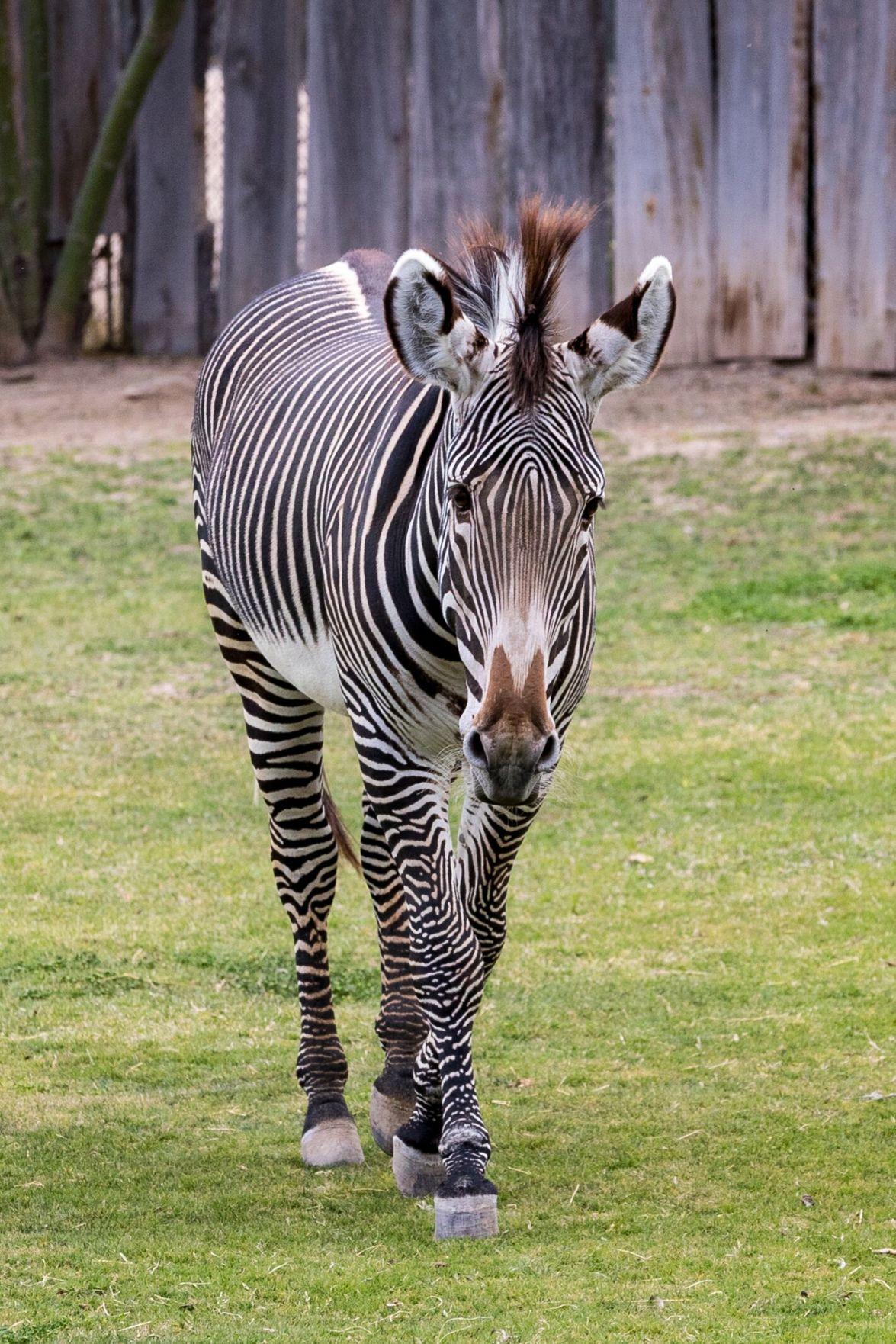 Tuari at Reid Park Zoo