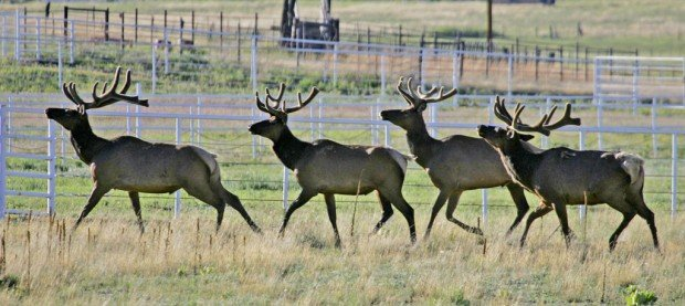 Small elk herd finds new home in Pinaleños outside Safford