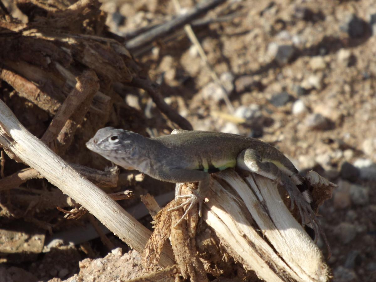 surprisingly beautiful southern arizona lizards pets tucson com