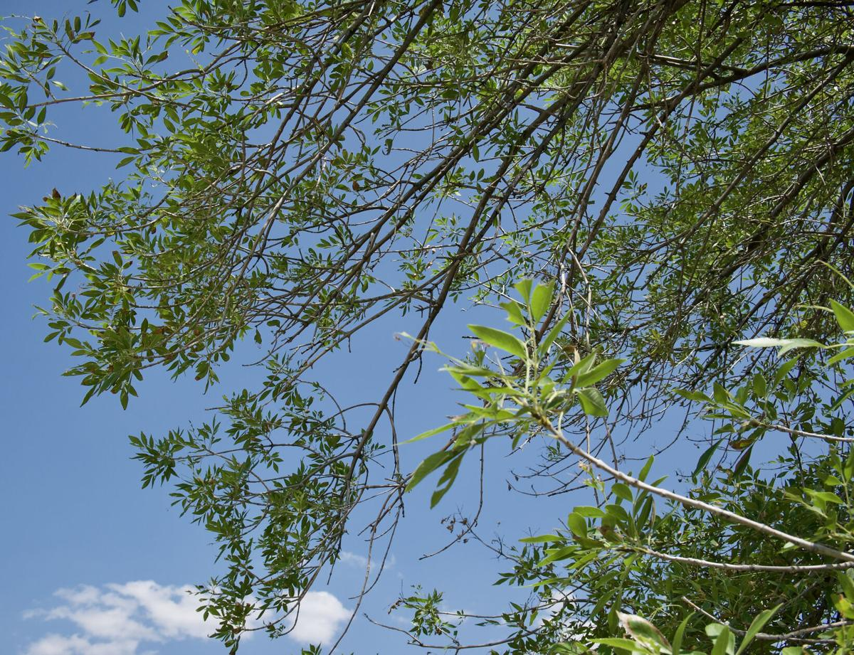 Arizona ash leaves