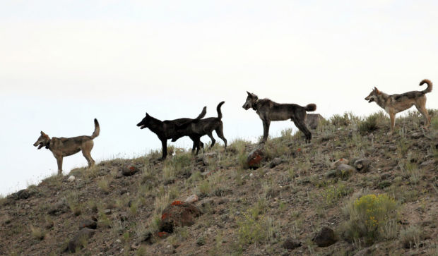 Oregon 'safe zone' for wolves hastens nonlethal options
