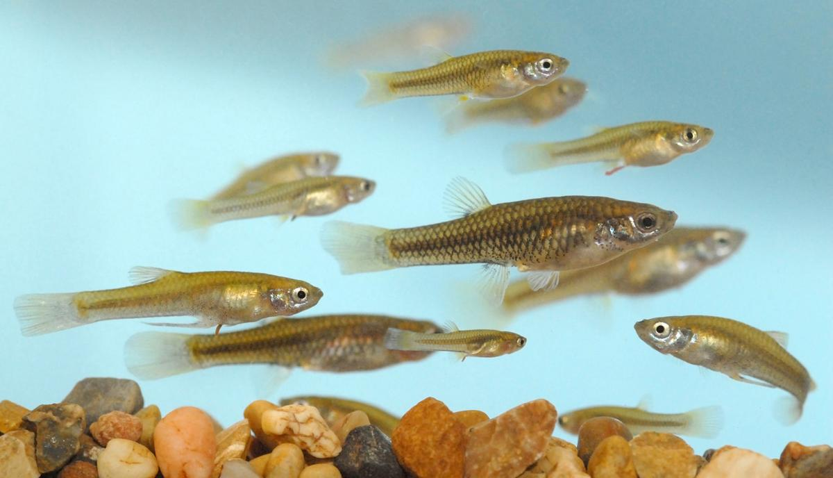 Endangered topminnow rebounds south of tucson local news for Gila river fishing