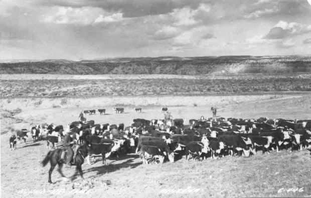 Southern Arizona cattle roundup