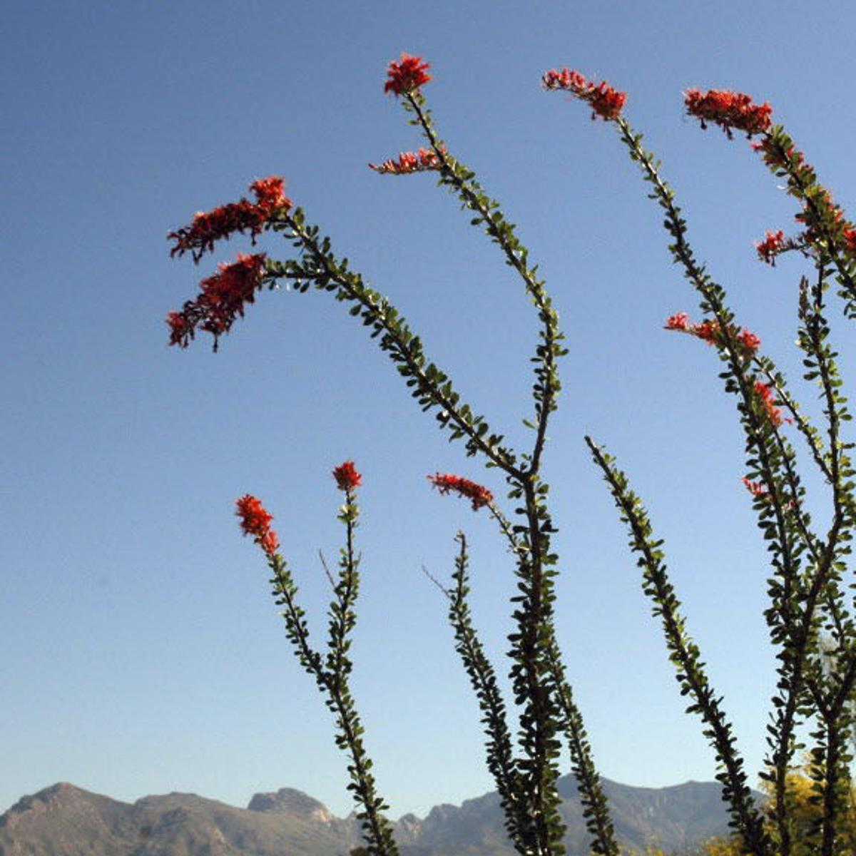 10 Ocotillo Facts That Will Make You Love This Desert Plant Even