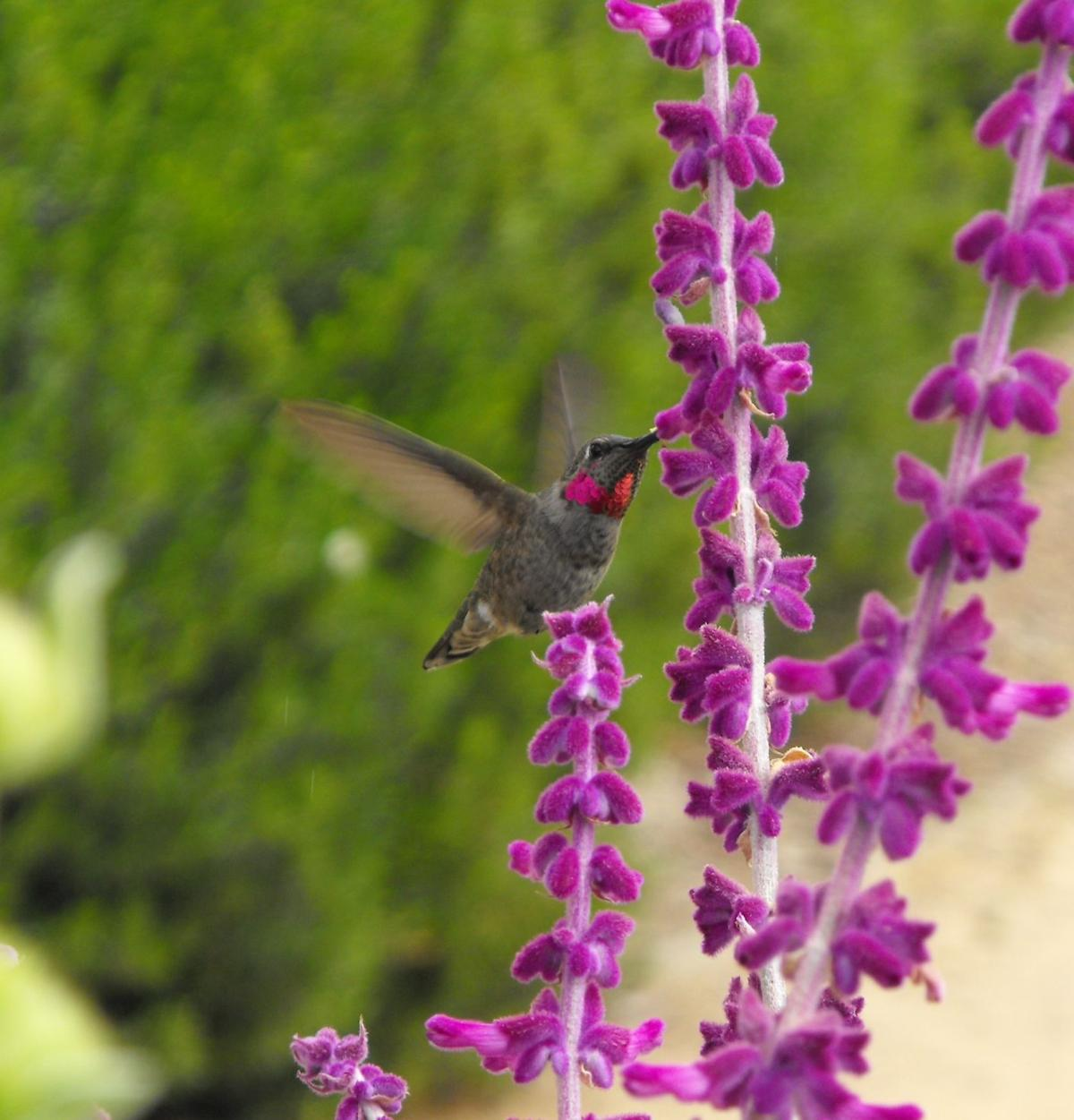 Gardensage: Consider plants that will entice hummingbirds to your yard.