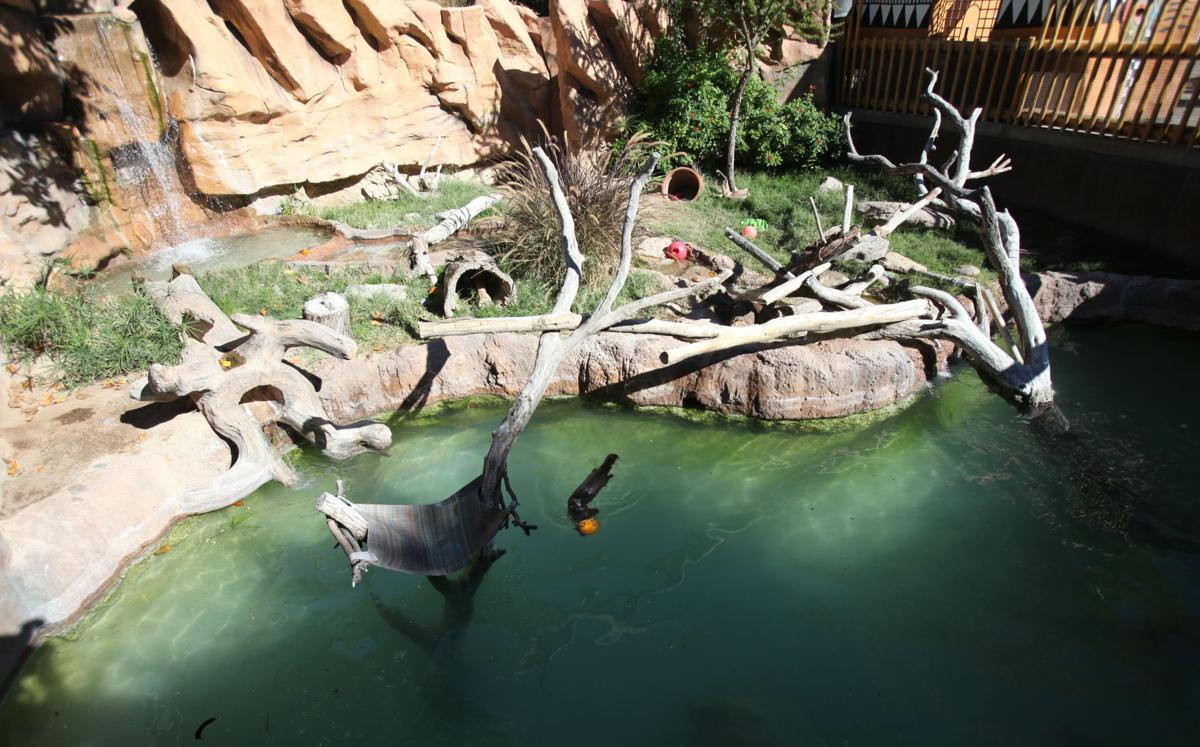 Nandi's Neighbors: Otters Pfeiffer and Hasani swim and play