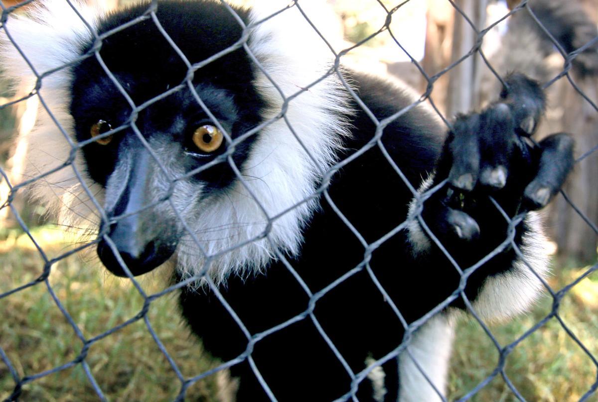 Like many Tucsonans, lemurs are sun worshippers
