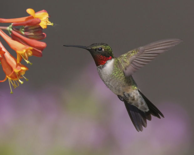 Warming may be prompting early hummingbird migration