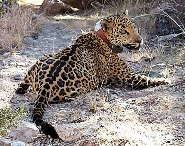 Officials euthanize az jaguar he was ill science for How to euthanize a fish