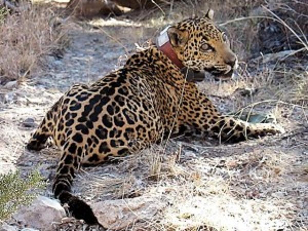 Officials Euthanize Az Jaguar He Was Ill Science Tucson Com