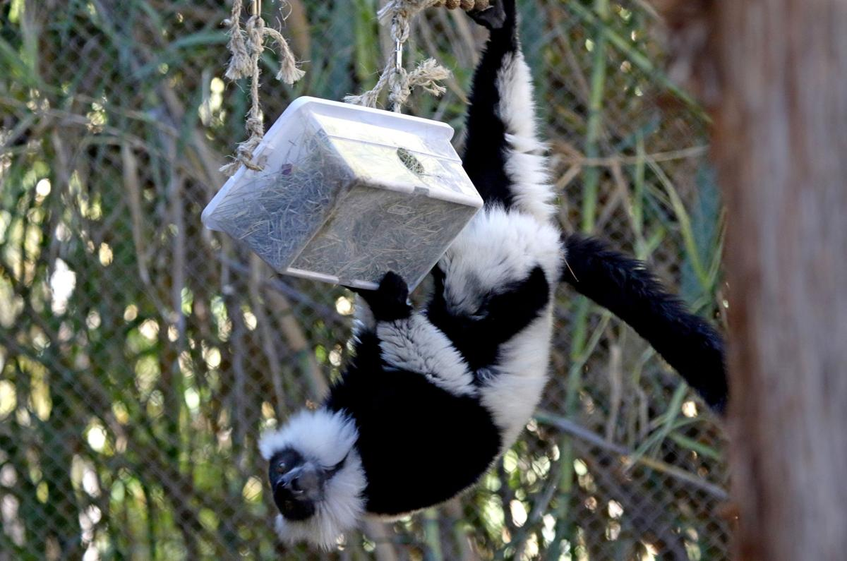 Lemurs live in a female-dominated society