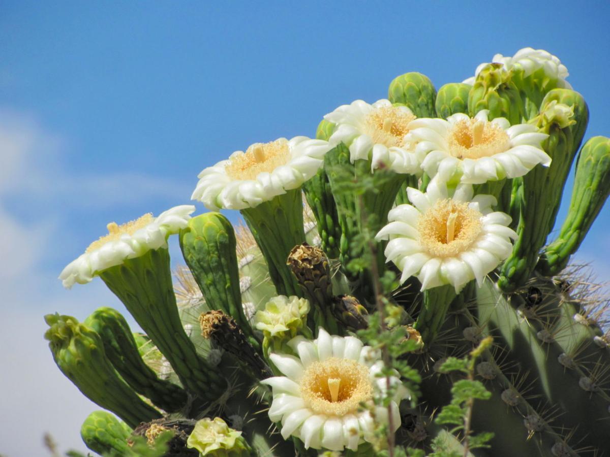 "Finding Arizona: ""Red Flowers"" of the Saguaro Cactus |Saguaro Cactus Flowers"