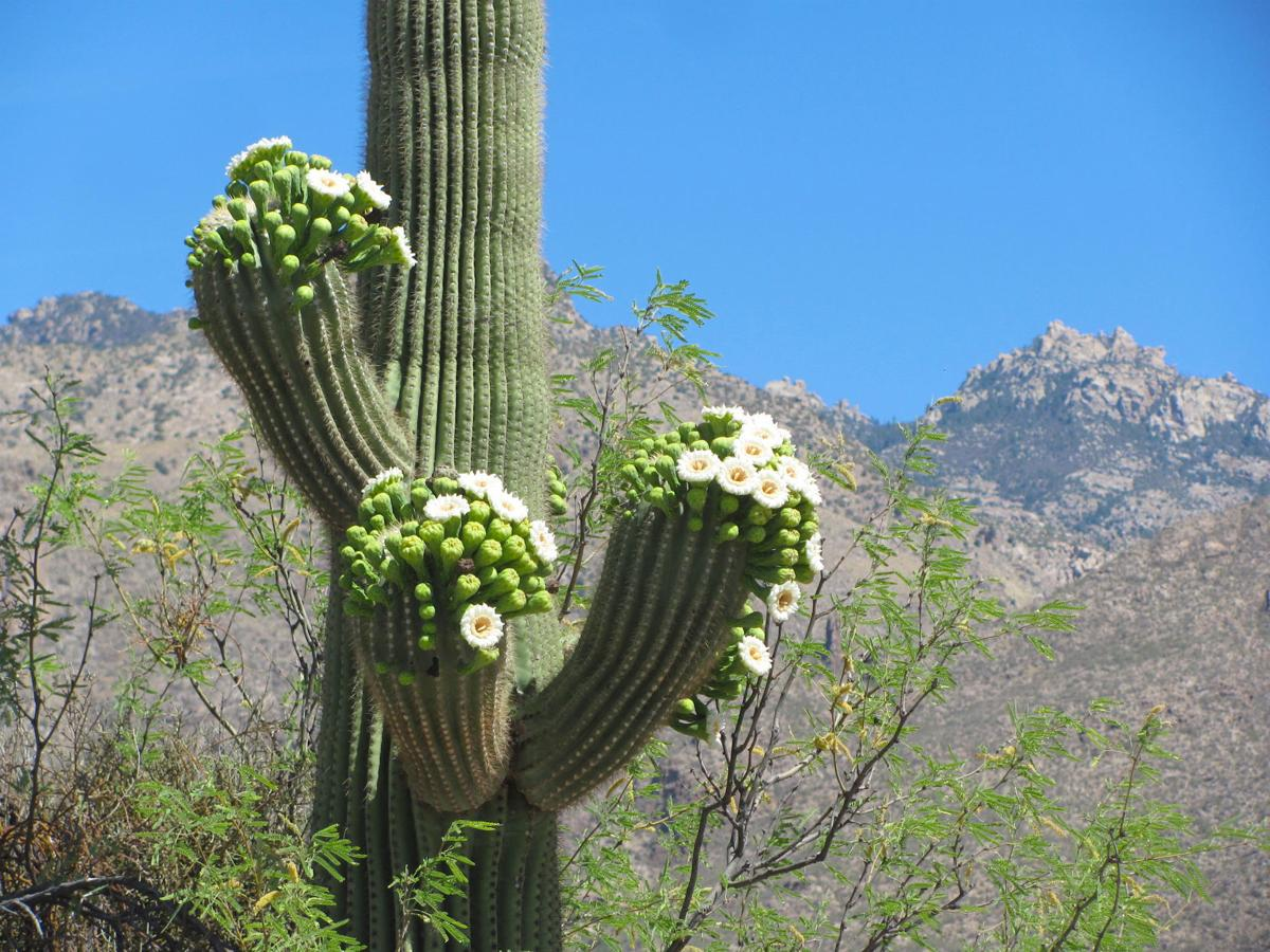 Blooming saguaro and ridge