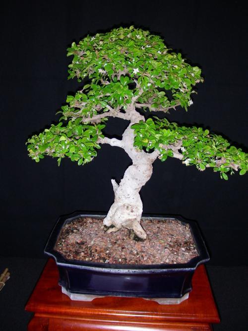 Living Art Bonsai Exhibition — Tucson Botanical Gardens