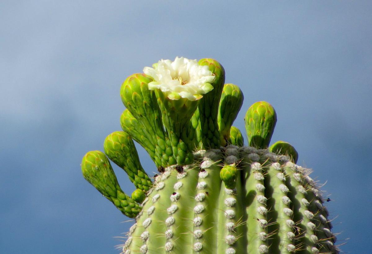 Saguaro flower