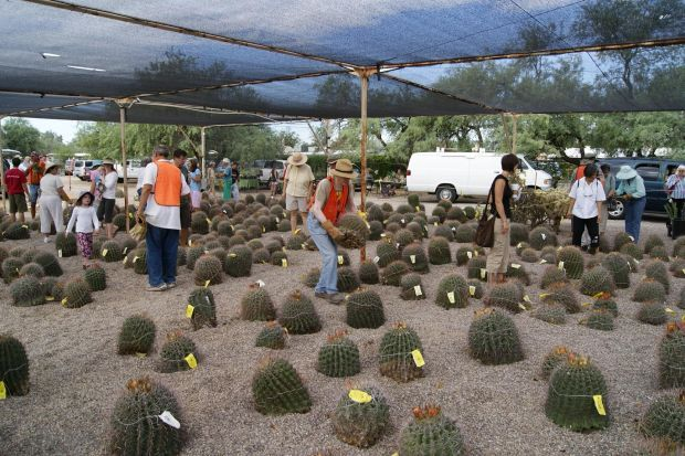 Exceptional Rescued Barrel Cacti Will Be Among The Offerings At The Gardenersu0027 Spring  Fair Sale By The Tucson Cactus U0026 Succulent Society And Green Valley  Gardeners On ...