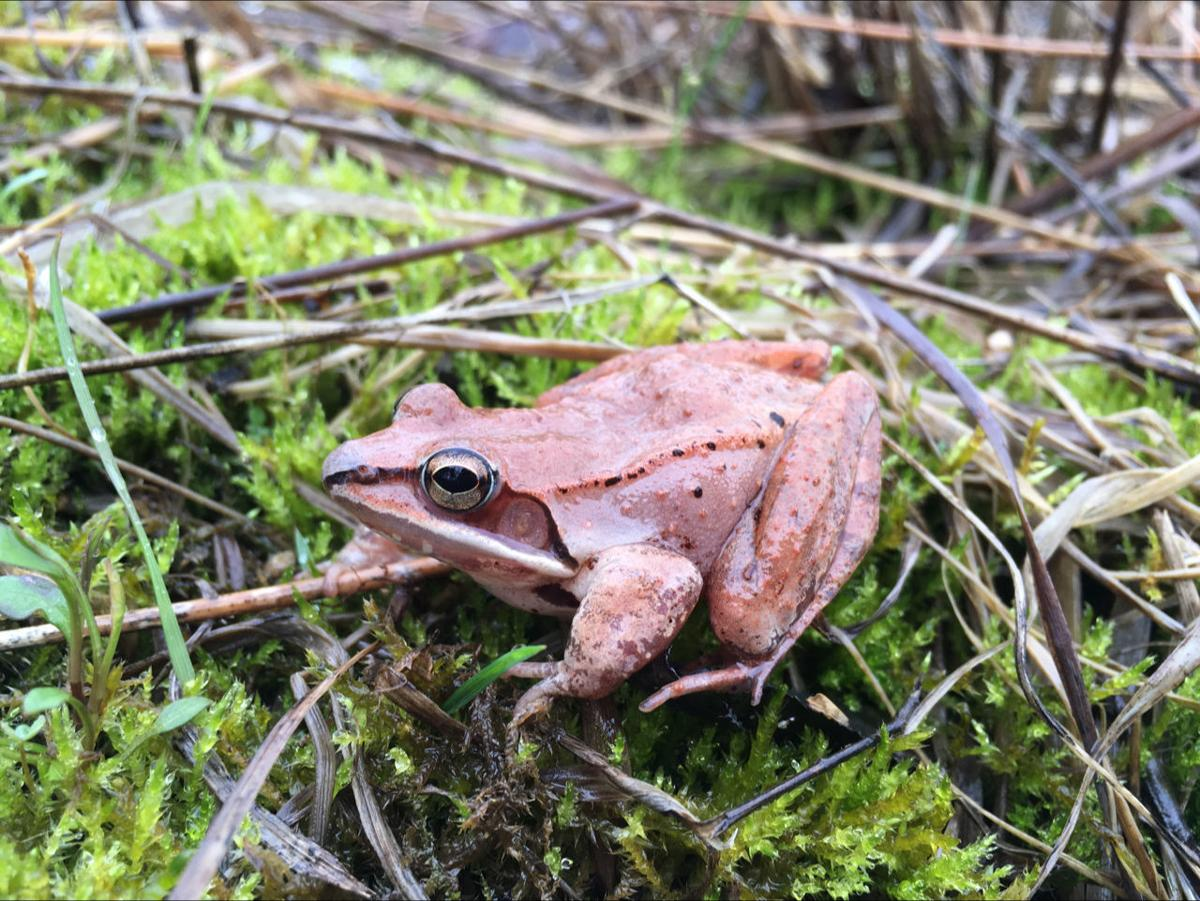 Wood frogs' No. 1 option: Hold in pee all winter to survive