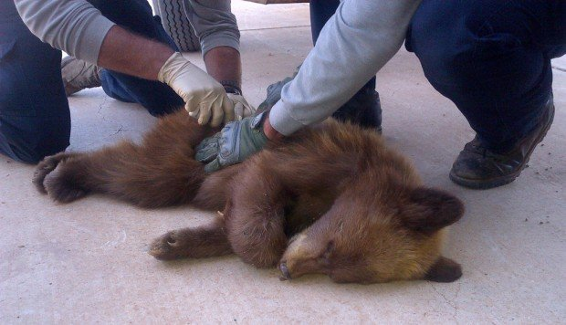 In reversal of Goldilocks tale, cub checks out Sonoita home