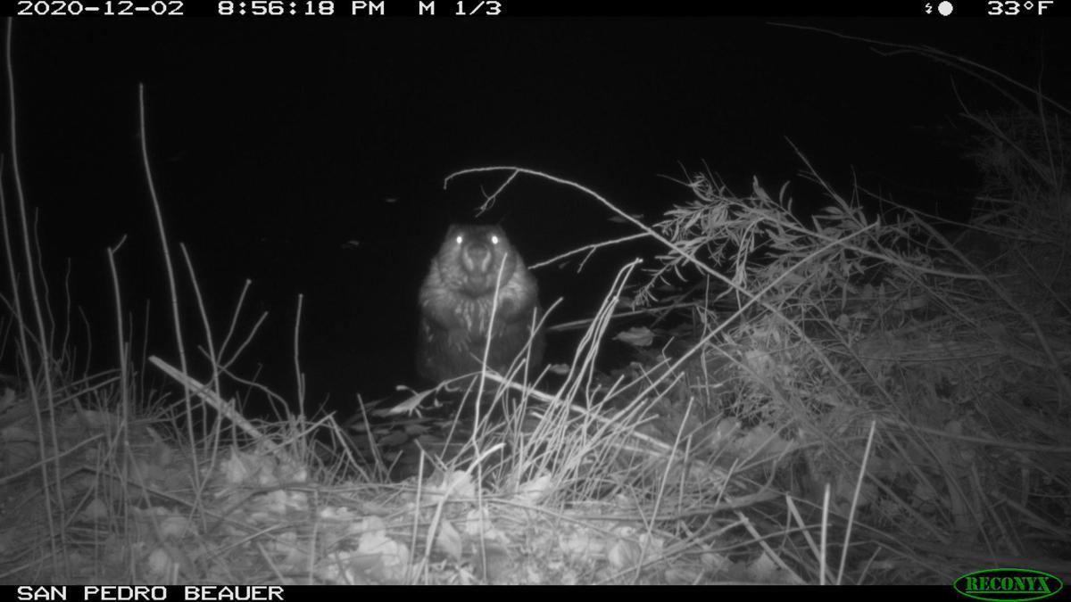 beaver cam