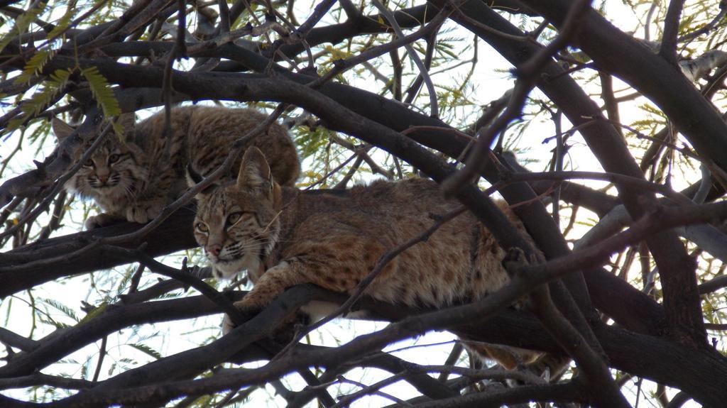 Photos of bobcats roaming through Southern Arizona backyards